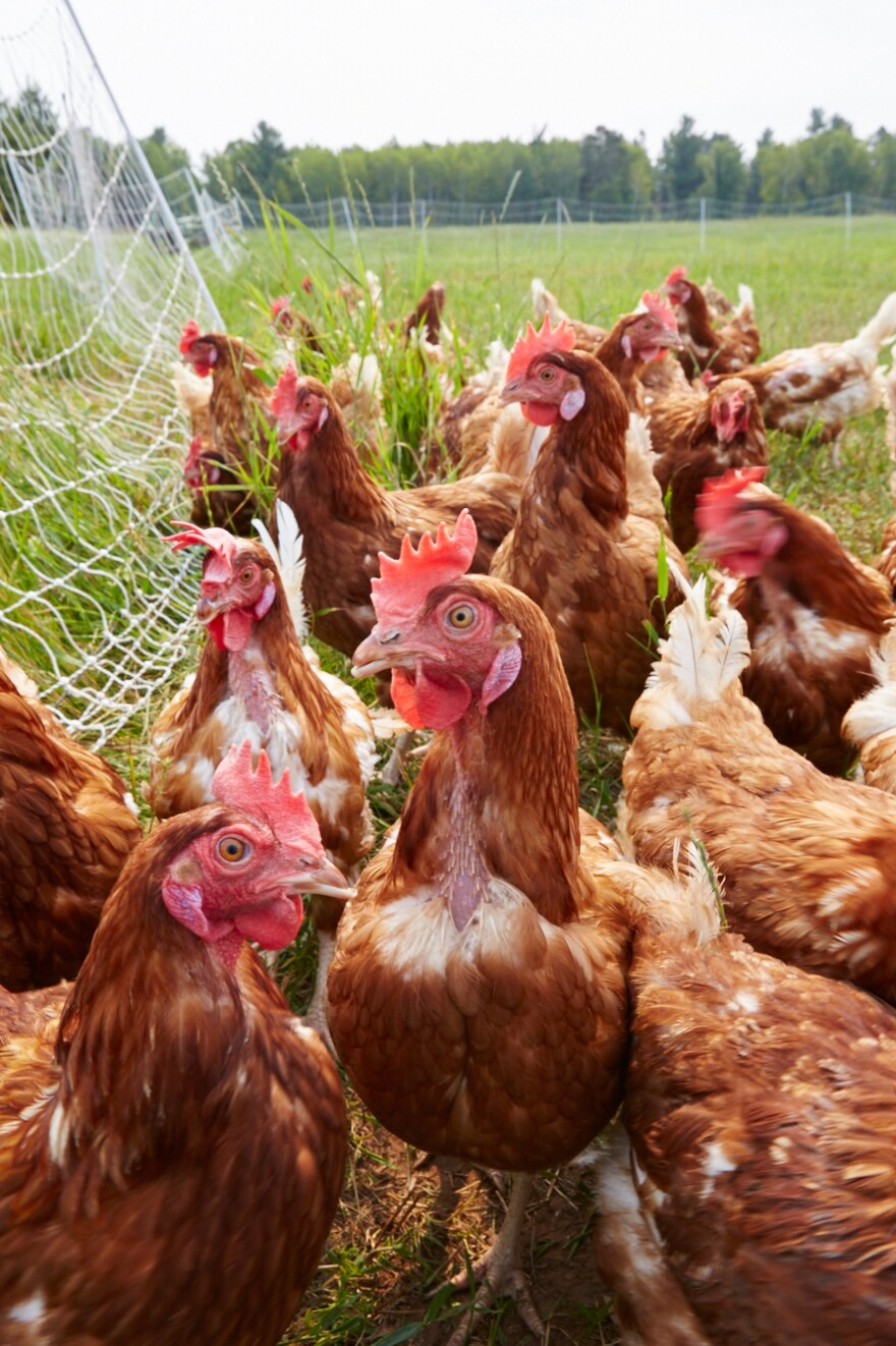 Every chicken on the Locally Laid farm is called LoLa — short for Locally Laid.