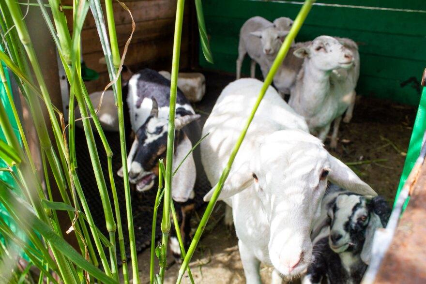 092820-am-StockCropper-sheep+goats.jpg