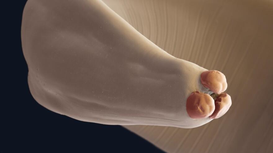 The giant roundworm, <em>Ascaris lumbricoides</em>, shows its three serrated lips.