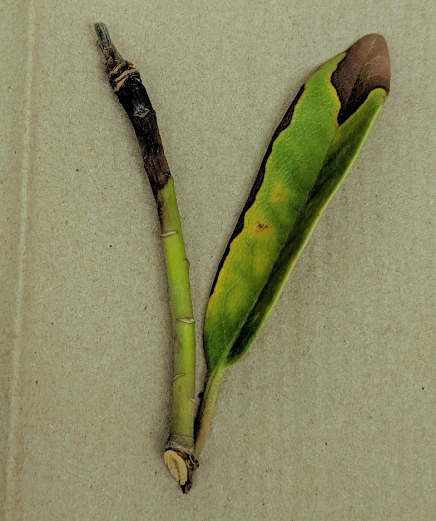 A leaf and branch tip showing symptoms of Phytophthora ramorum. The pathogen can cause Sudden Oak Death if it infects and oak tree.