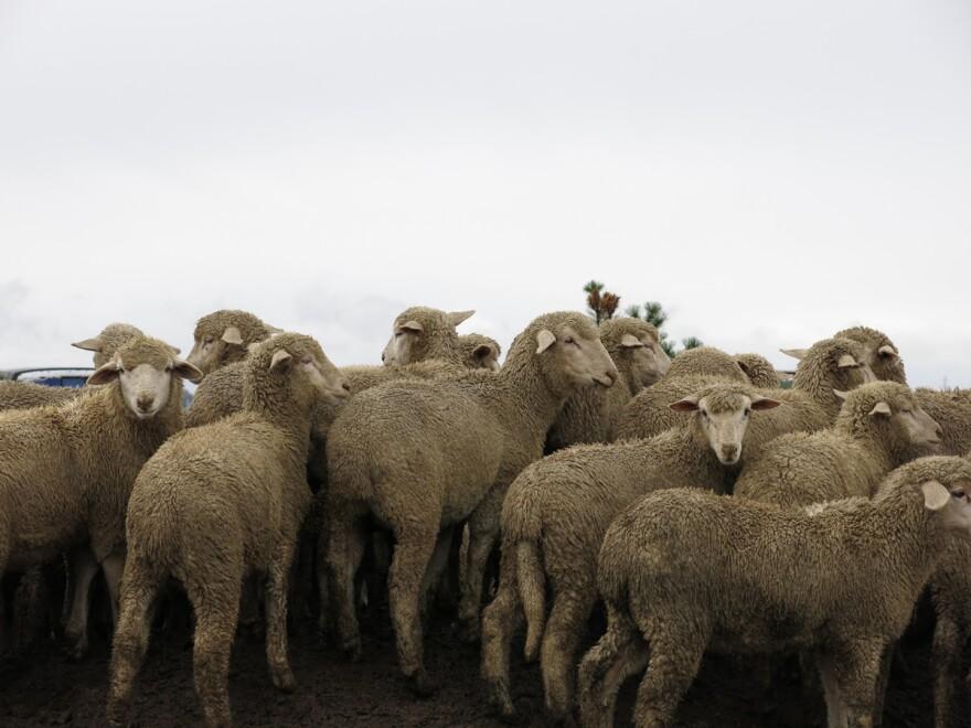 lr-craig-sheep-herd-img1190-x1200.jpg