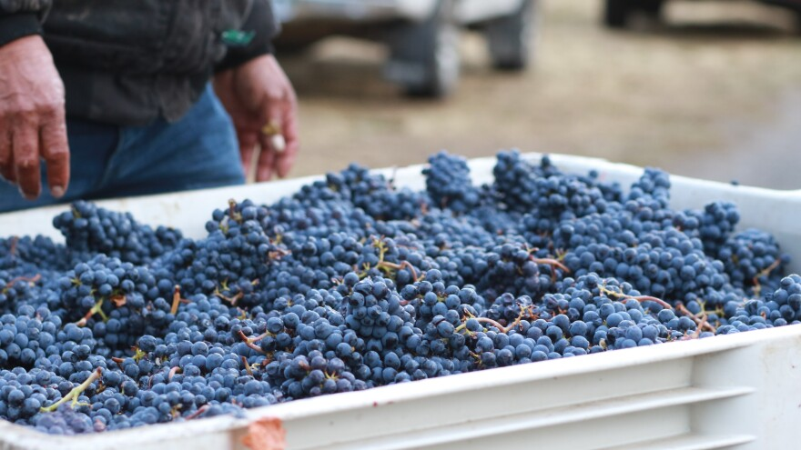 Grapes from canceled contracts were harvested and made into wine thanks to the Oregon Solidarity project.