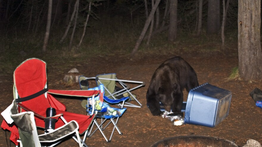 <strong>Not as cute as Yogi's pic-a-nic thievery: </strong>Food left out at a campsite in Yosemite National Park is likely to attract bears like this one, seen scavenging at Tuolumne Meadows Campground in 2008.