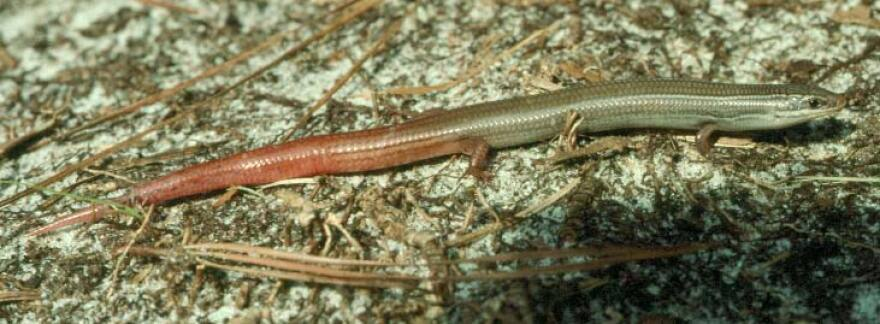The Florida Keys mole skink is a small lizard that lives only in coastal areas of the Keys.