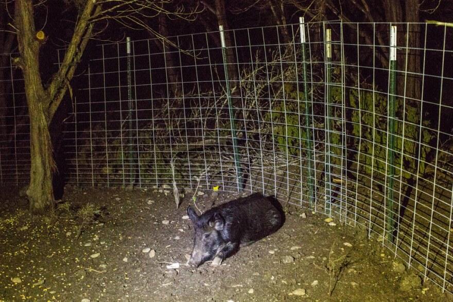 A feral hog