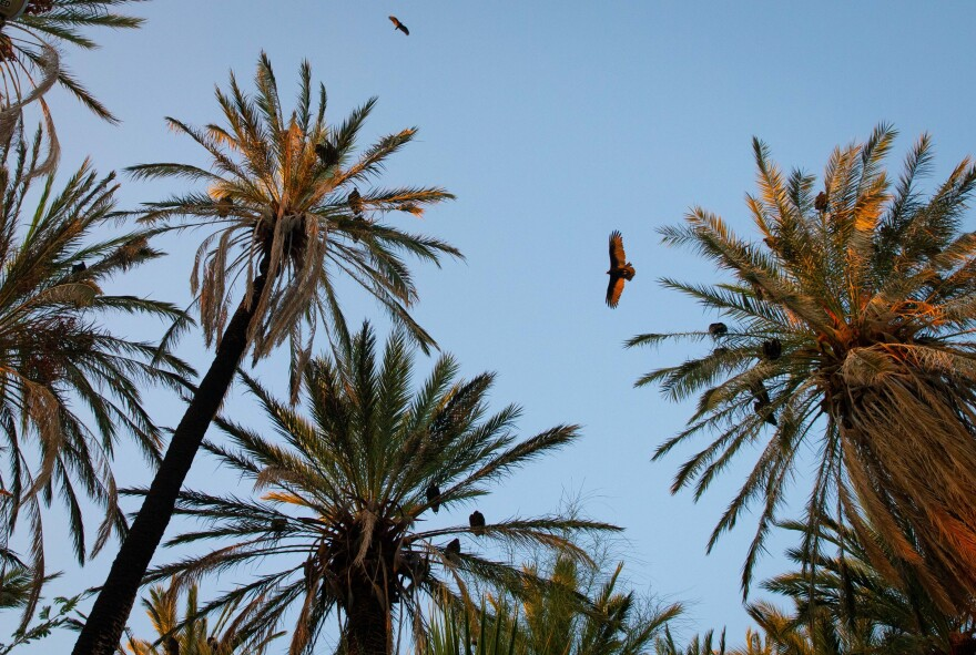 Turkey vultures come to roost among the palm trees near the Mission of San Ignacio, about a mile from our land. Seeing these two species together took me some time to get used to.
