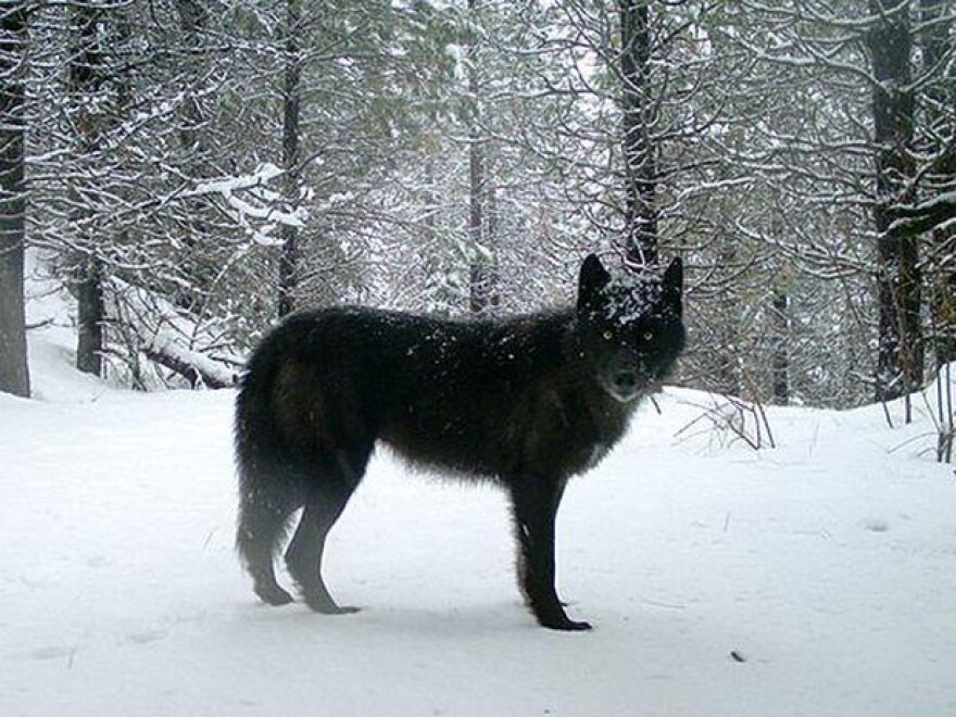 <p>A wolf of the Wenaha Pack captured on a remote camera on U.S. Forest Service land in northern Wallowa County.</p>