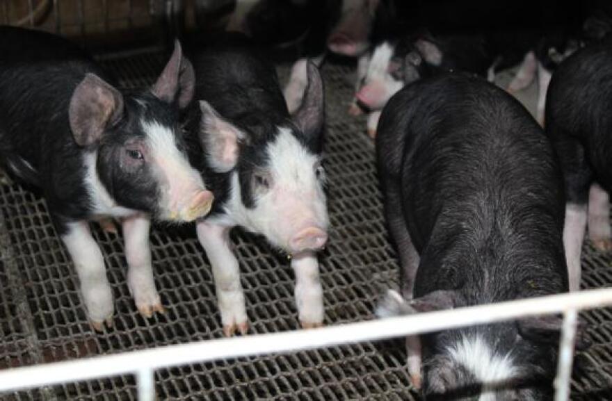 0419_niche-pork-pigs.jpg