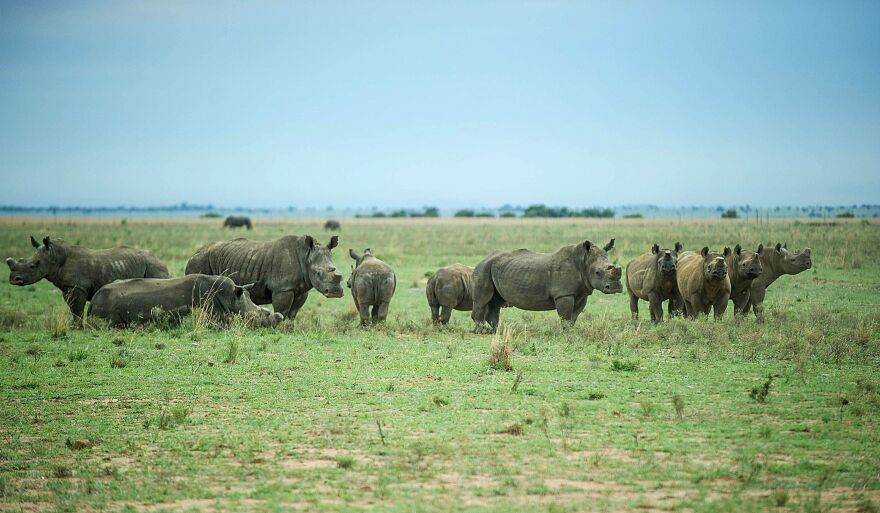 Dehorned rhinos roam a private ranch in South Africa in February. The country's Supreme Court of Appeal has lifted a domestic ban on trading rhino horns.