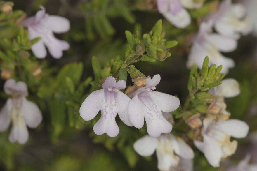 Close-up of white calamint flower.