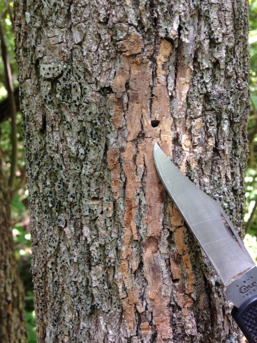 Small holes in the trunk are a sign of the emerald ash borer.