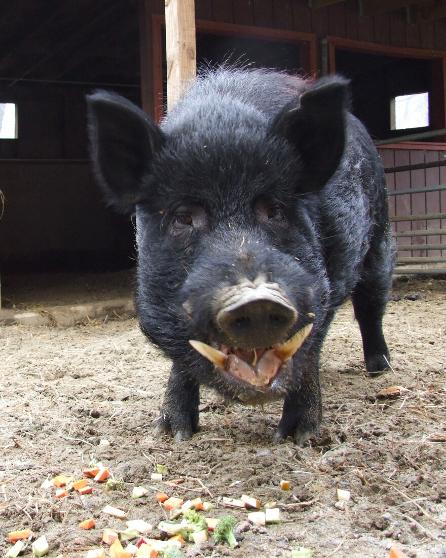 The Guinea hog is a small breed that once produced hams, bacon and lard for farmers in the southeast U.S. But it is now threatened, according to the Livestock Conservancy.