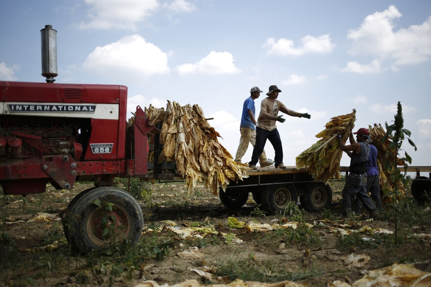 Migrant workers harvest Burley tobacco in Pleasureville, Ky. McConnell has argued that his support for the industry is because it employs tens of thousands of farmers in the state.