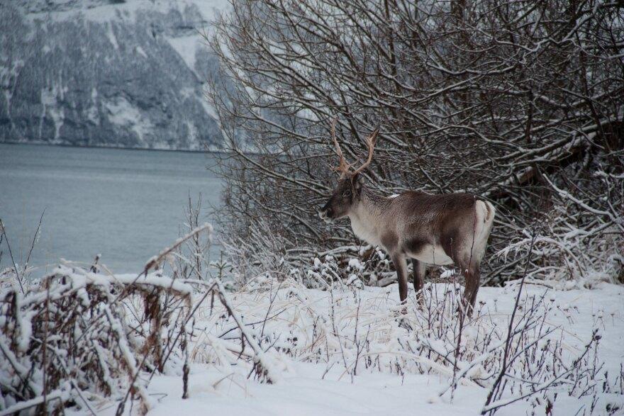 reindeer_norway_20131106.jpg