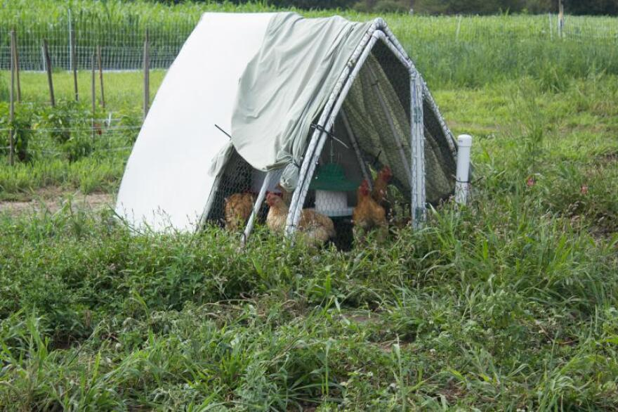 Chickens eat, peck and poop in lightweight coops that researchers move daily within a vegetable field at the Iowa State University horticulture research farm.