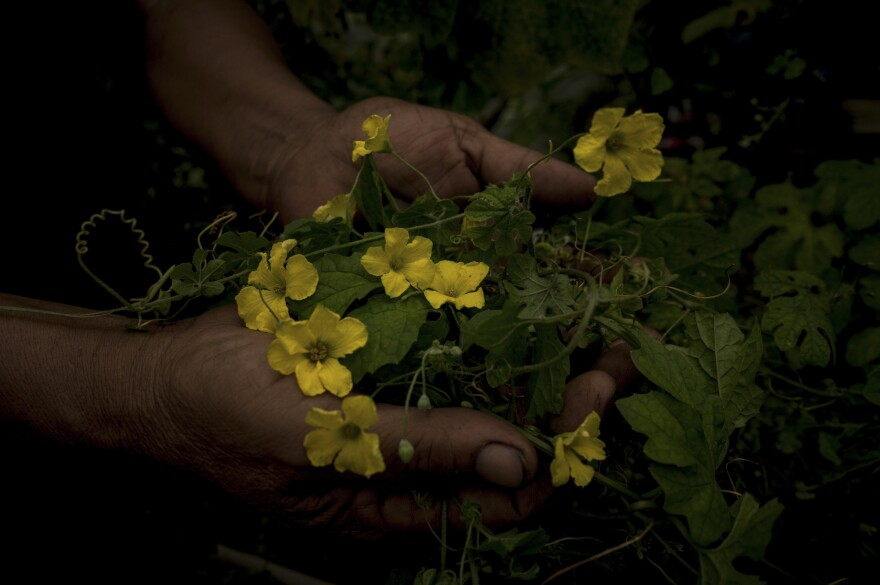 A Filipino abortionist holds up the flowers of the bitter gourd. Abortions are against the law in the Philippines, but some midwives and others will use bitter gourd — believed to cause a miscarriage when ingested — and other methods to terminate a pregnancy.