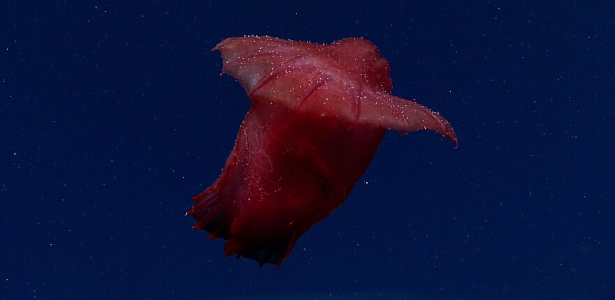 A sea cucumber that looks like a headless chicken has been caught on video in the deep seas near East Antarctica, thousands of miles from where one of the species was last spotted.