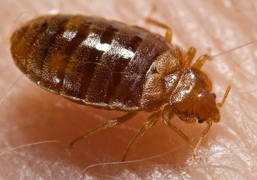 Bed_bug_Cimex_lectularius.jpg