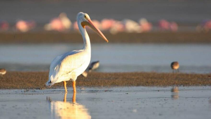 A white pelican stands in Snake Bight in Florida Bay.