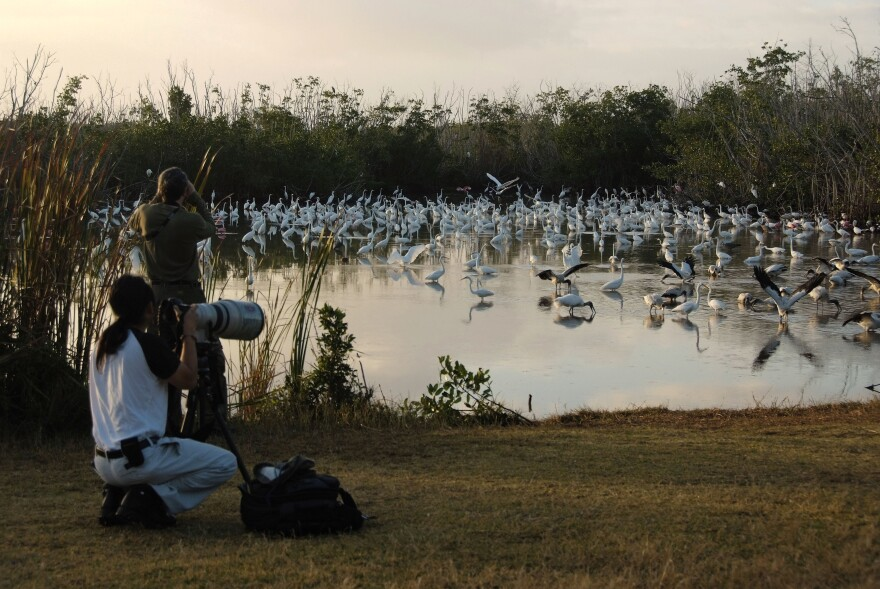 Birders photograph Great Egrets, wood storks and other wading birds foraging in Everglades National Park.