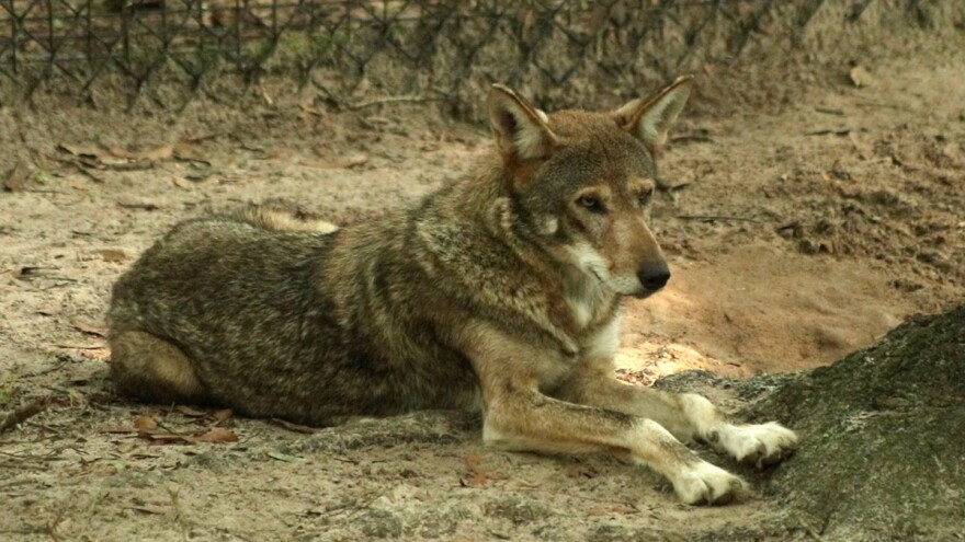 A Red Wolf father sits near the fence of the wolf enclosure at the Tallahassee museum (7/27/18). He'll soon be heading to Louisiana as part of a breeding program.