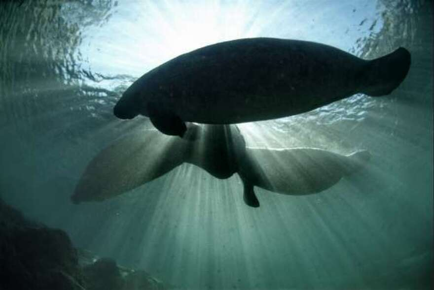 Manatees swim in clear water.