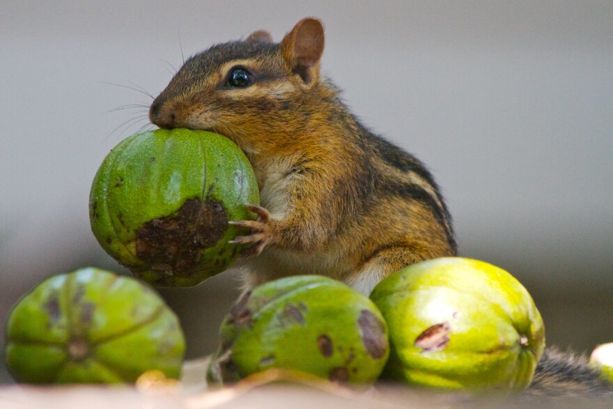 Chipmunk-With-Hickory_Nuts_FlickrCreativeCommons_AlanWolf.jpg