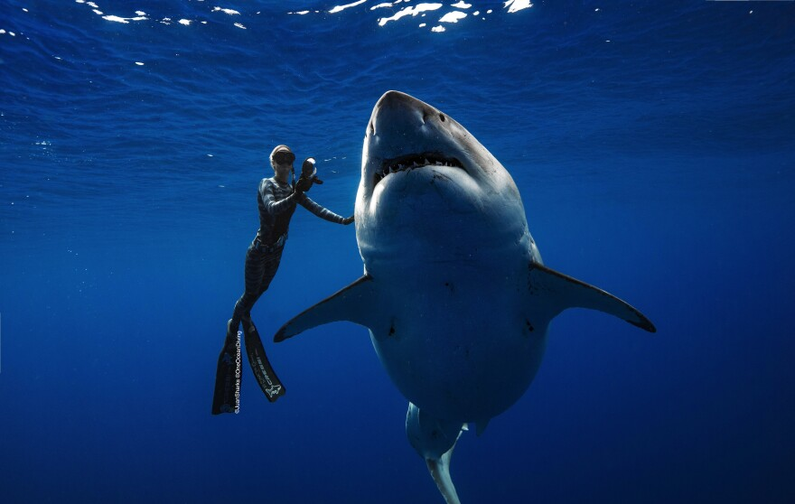 Ocean Ramsey is pictured caressing the great white shark believed to be Deep Blue, a 20-foot-long female shark more than 50 years old.