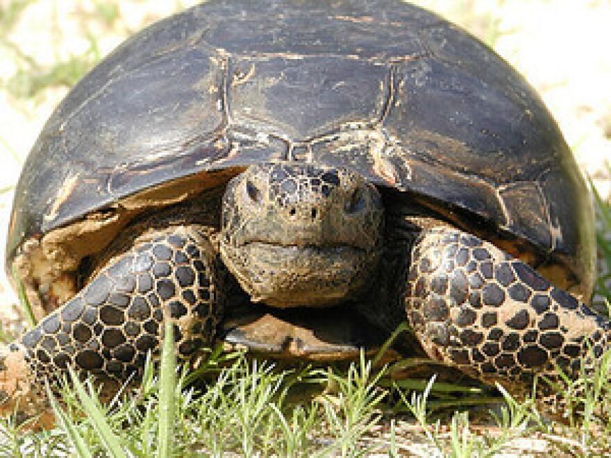 gopher tortoise USFWS.jpg
