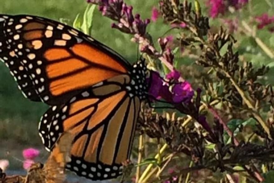 Monarchs are starting their annual migration through the region. This butterfly was spotted at Creve Coeur Lake Memorial Park on Sept. 24, 2016.