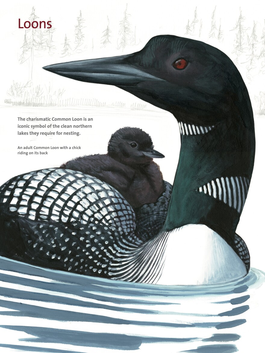 A page on Loons from David Allen Sibley's <em>What It's Like To Be A Bird.</em>