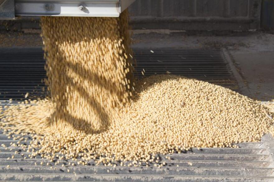 Freshly harvested soybeans tumble from a semi hopper into the pit at the Key Cooperative in Roland, Iowa.