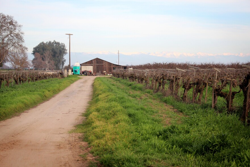 Some grape vines on the Masumoto farm are almost a hundred years old. Mas Masumoto's father purchased the farm after World War II, but he says it's possible that his grandparents, who were itinerant immigrant farmworkers, worked on this farm and pruned those vines.