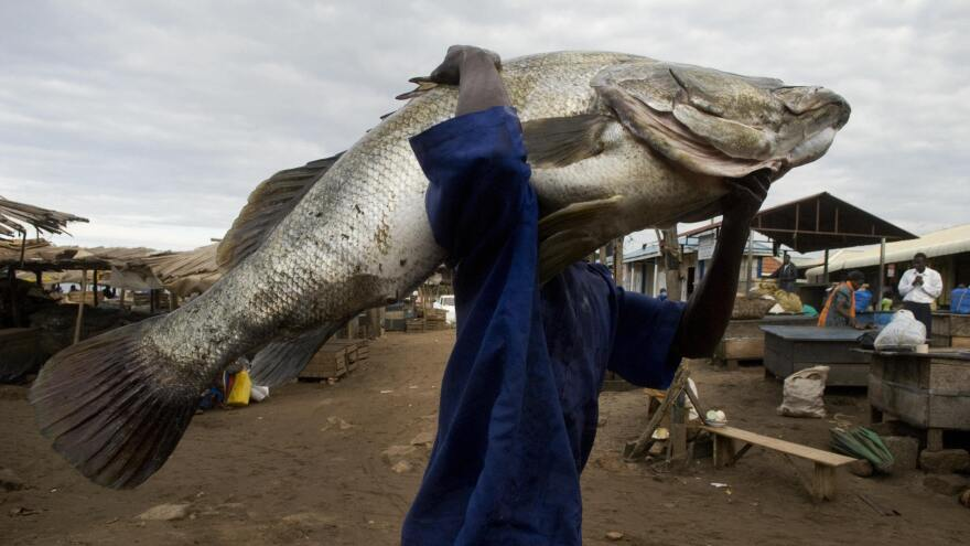 A man carries a Nile Perch of about 175 pounds caught in a lake in Uganda. The huge fish — they can weigh up to 440 pounds — were introduced to several African lakes and have wiped out hundreds of local species.