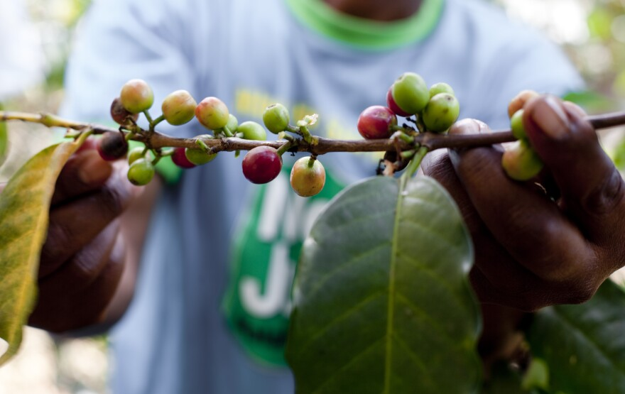 Beans are picked at a coffee cooperative in Embu, Kenya.