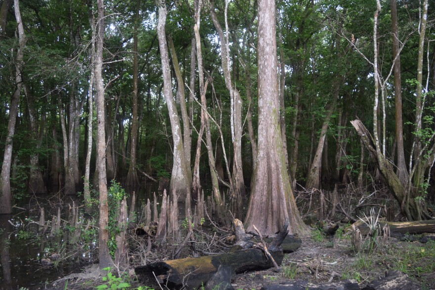 Trees growing in a wet swampy area