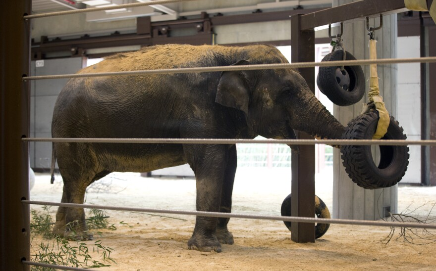 Asian elephant Shanthi plays in an enclosure at the Elephant Community Center during the unveiling of the major expansion of the elephant house at the Smithsonian's National Zoo in 2013.