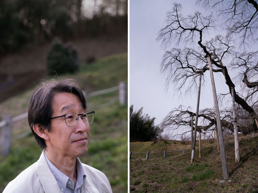 Sidafumi Hirata (left) and his team recently built long wooden posts to help hold up the tree's branches (right).