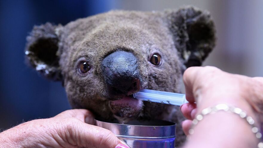 A dehydrated and injured Koala receives treatment at a koala hospital in Port Macquarie, after its rescue earlier this month from a bushfire that ravaged an area thousands of acres large.