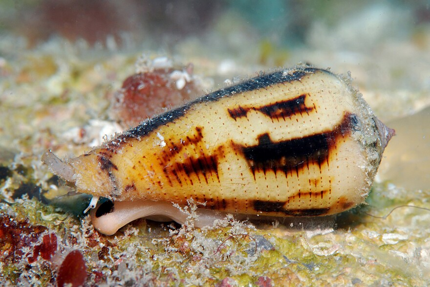 The sea snail <em>Conus magus </em>looks harmless enough, but it packs a venomous punch that lets it paralyze and eat fish. A peptide modeled on the venom is a powerful painkiller, though sneaking it past the blood-brain barrier has proved hard.