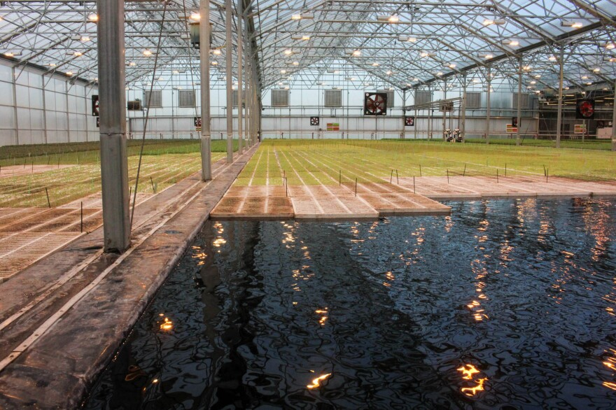 In the BrightFarms greenhouse, salad greens grow on floating boards. Their roots extend into the water, where they get nutrients.
