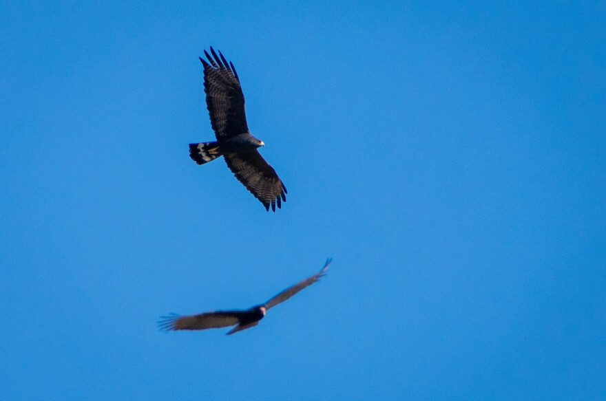 A zone-tailed hawk cruises past as a turkey vulture approaches. When we see turkey vultures gathering, we now know to look for a lone zone-tailed hawk among them mimicking the scavenger birds' flight, camouflaged despite its smaller size and brightly banded tail.