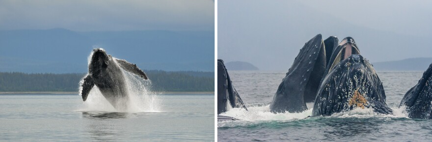 Left: Humpback whales breach for many reasons, including to communicate with other whales. Right: A group of humpback whales lunge feed in near Glacier Bay.
