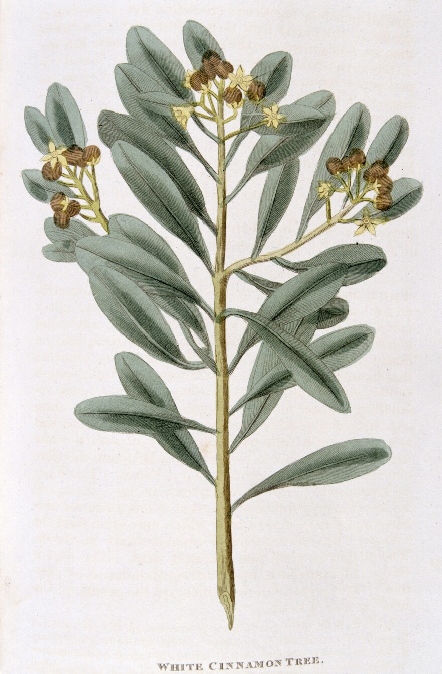 A hand-colored engraving of cinnamon from <em>Nature Displayed</em> by Simeon Shaw. (London, 1823).