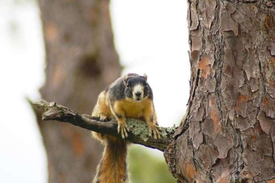 southern-fox-squirrel__fwc_.jpg