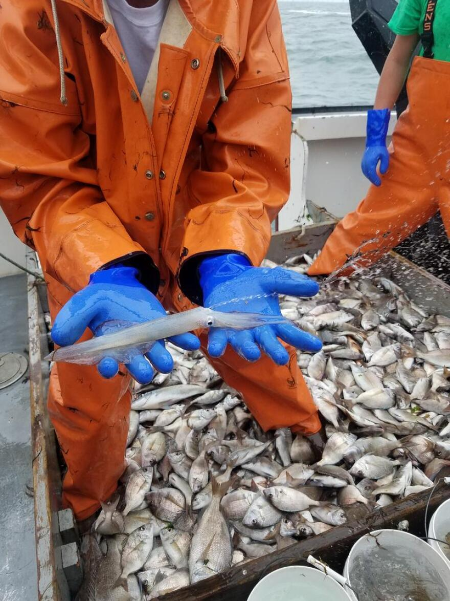 Squid are among the fish species hauled in on a fish trawler in Narragansett Bay.