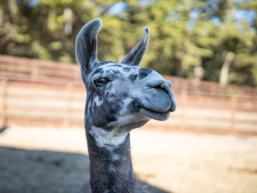 "Paco the llama is one of Sweet Farm's animals available to join conference calls. Sweet Farm says he's a ""curious and precocious llama"" who ""can be found chasing friends around the pastures and forever wondering when his next carrot is coming."""