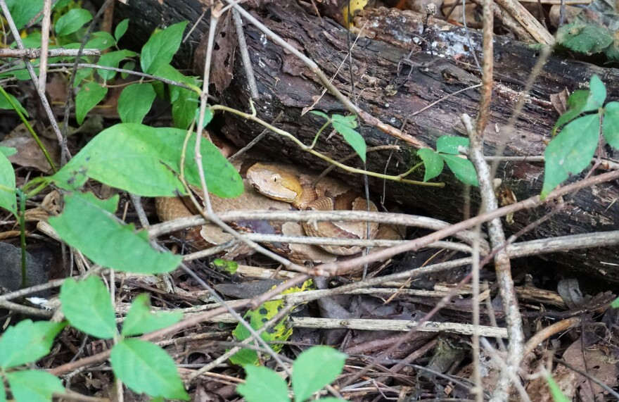 An adult male copperhead nicknamed Captain Kirk hides underneath a fallen log on August 20, 2019. The species is extremely well-camouflaged and often goes undetected, said Jellen.