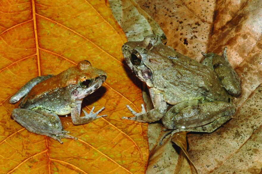 The newly described <em>L. larvaepartus </em>(male, left, and female) from Indonesia's island of Sulawesi. Odd, sure, but at least they don't use their stomachs as breeding chambers, as some other frogs do.