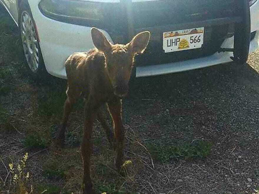 Photo of a baby moose and UHP car.